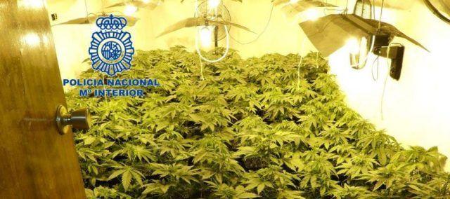 Plantas de marihuana incautadas en vivienda de Elda. / Policía Nacional